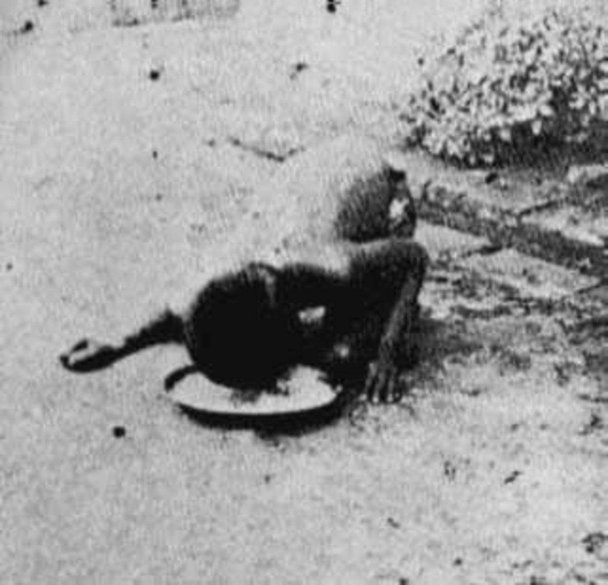 This grainy image purportedly shows Kamala eating from a bowl on the ground.