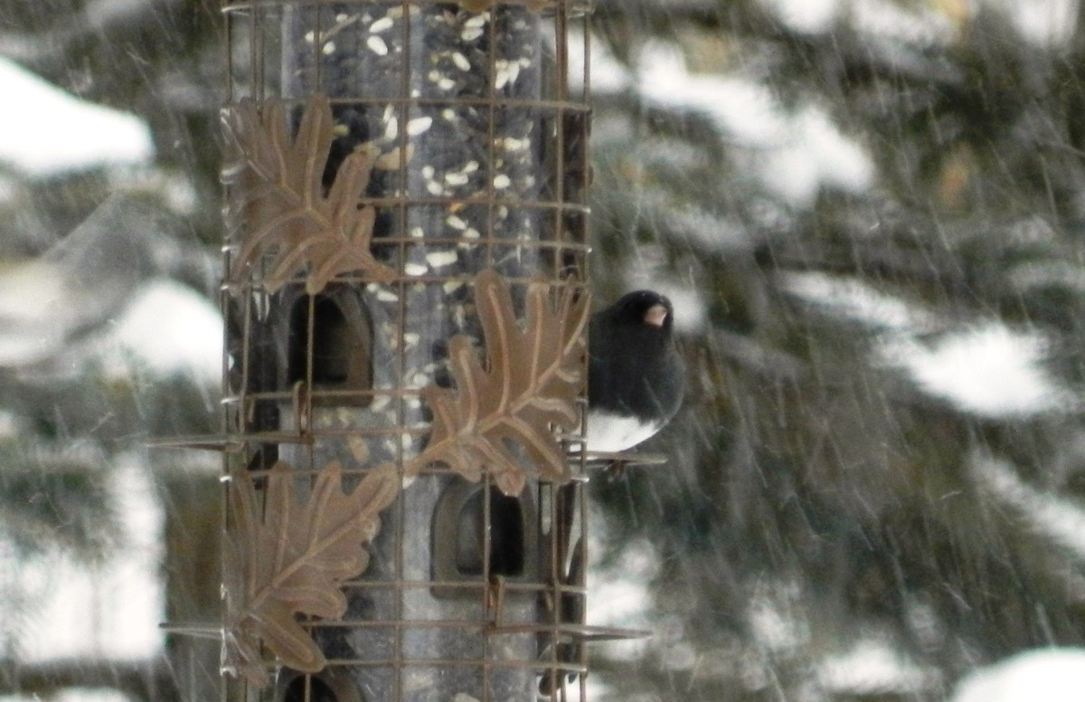 Dark-eyed Junco at tube feeder in winter storm