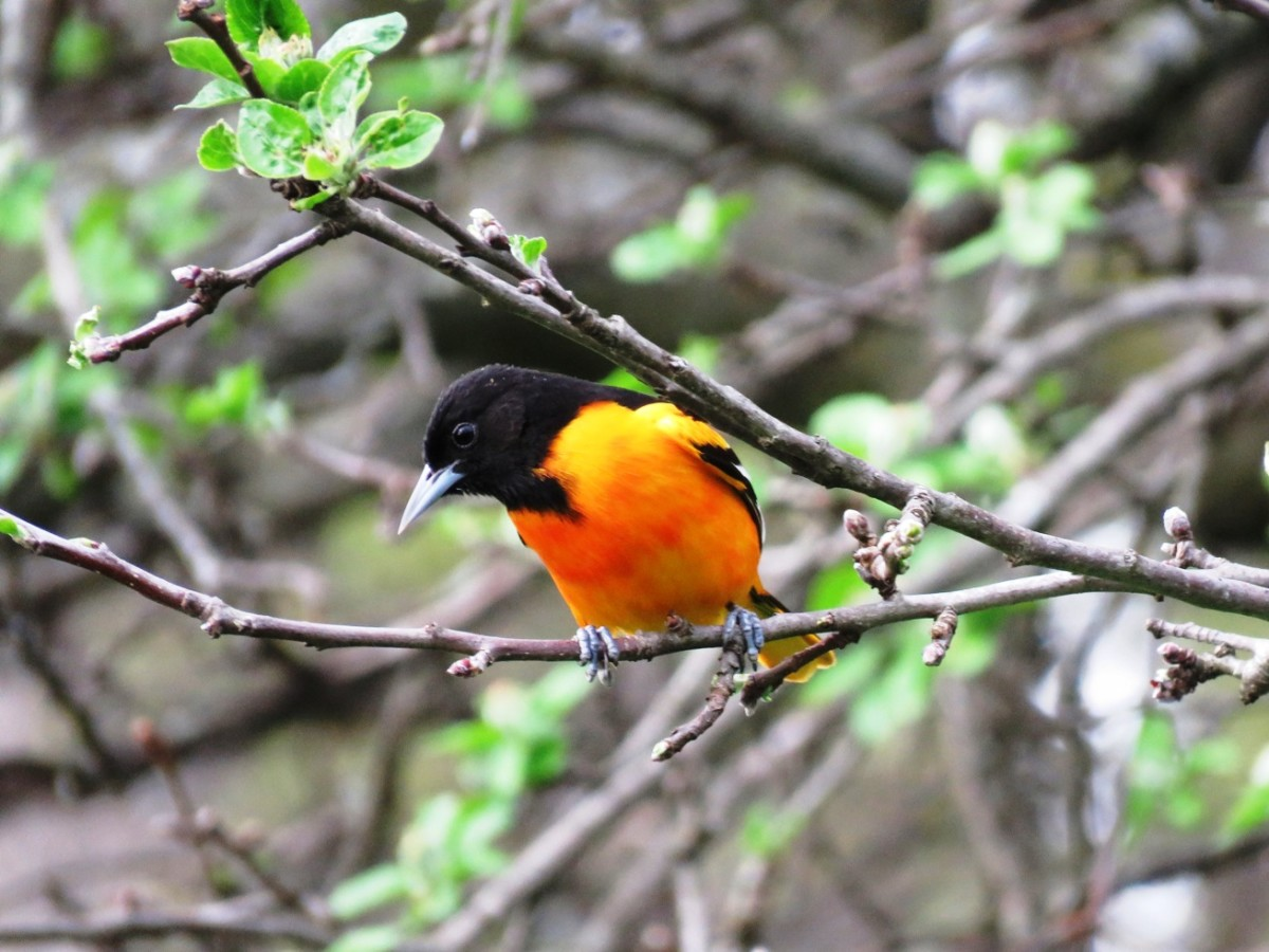 The Baltimore Oriole eats insects and nectar, and may come to a feeder for pieces of oranges.