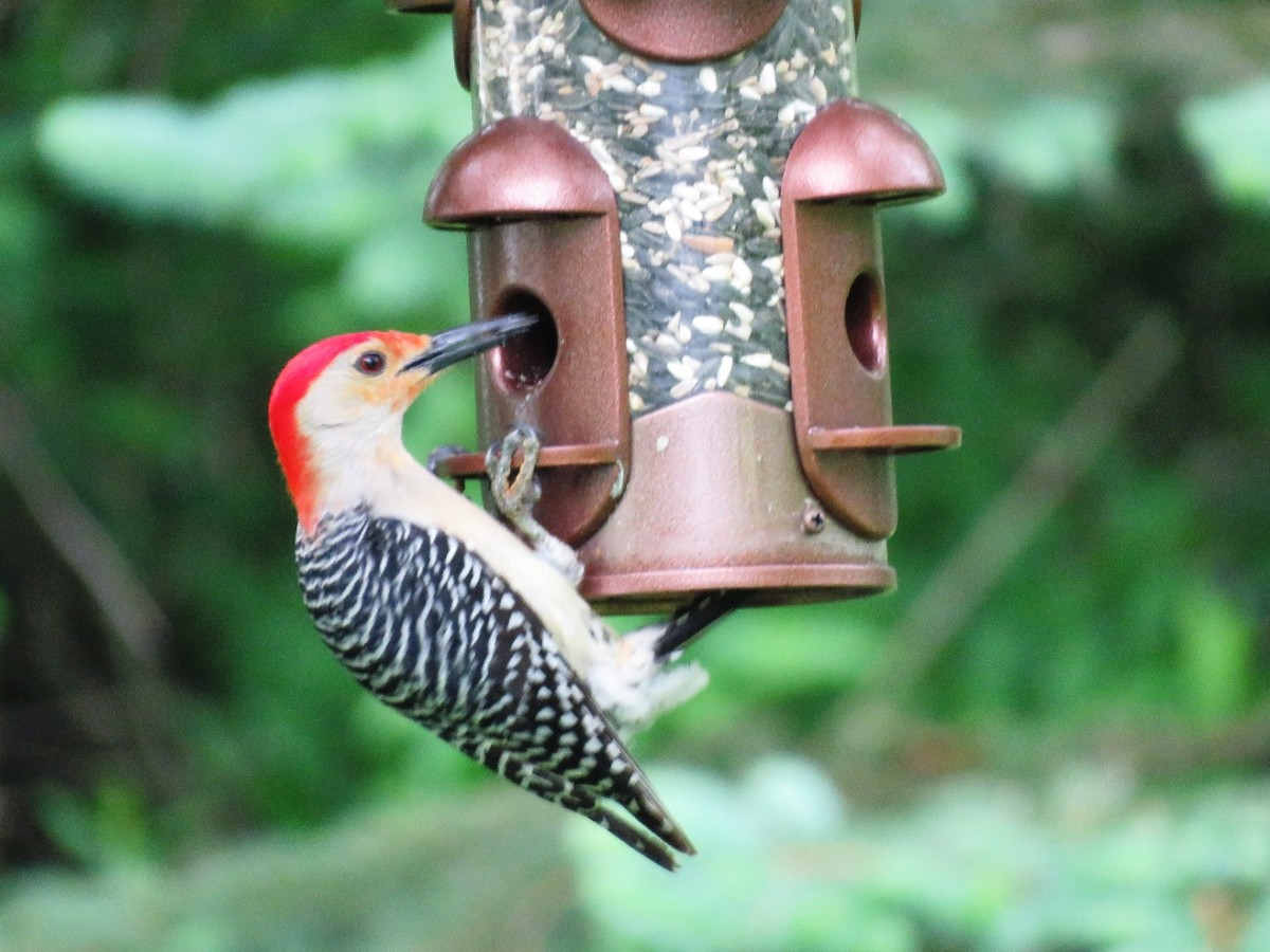Many insect-eating birds like the Red-bellied Woodpecker will also come to your feeder for seed.
