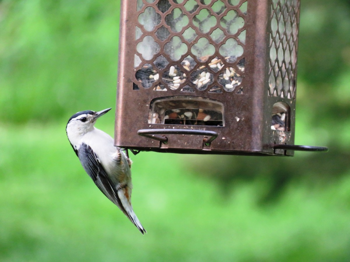 White-breasted Nuthatch at seed feeder.