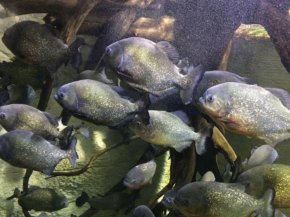 Piranhas in captivity.