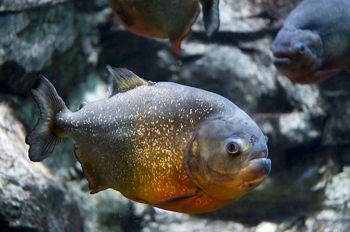 Up-close image of the fearsome Red-Bellied Piranha.