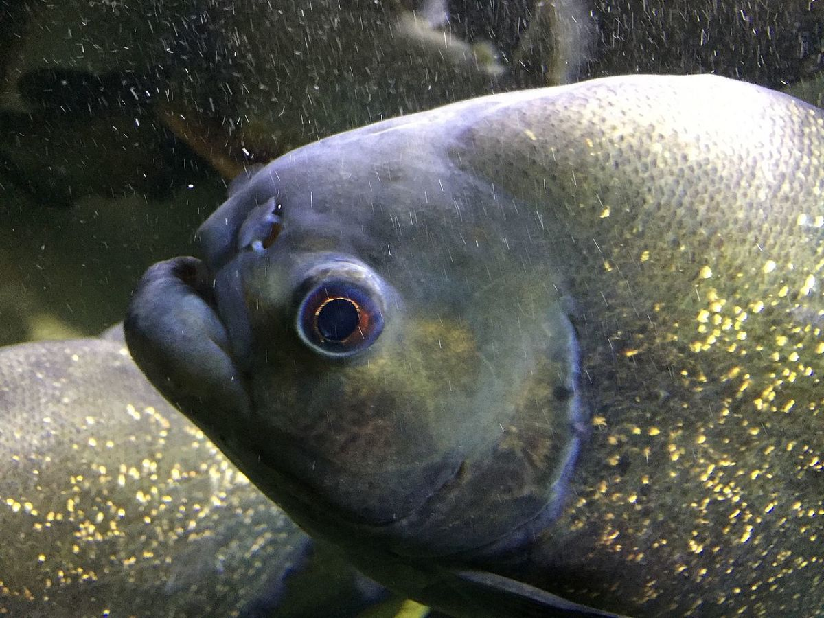 Up-close image of Red-Bellied Piranha. Despite their large teeth, the animal's teeth are hidden from view by its thick outer lips.