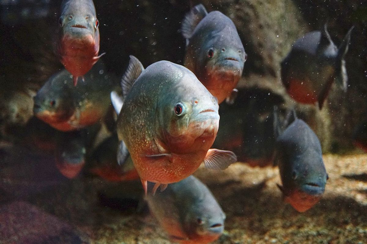 Image of a large piranha shoal. Shoals serve multiple purposes for the piranha, affording them remarkable protection from larger predators.