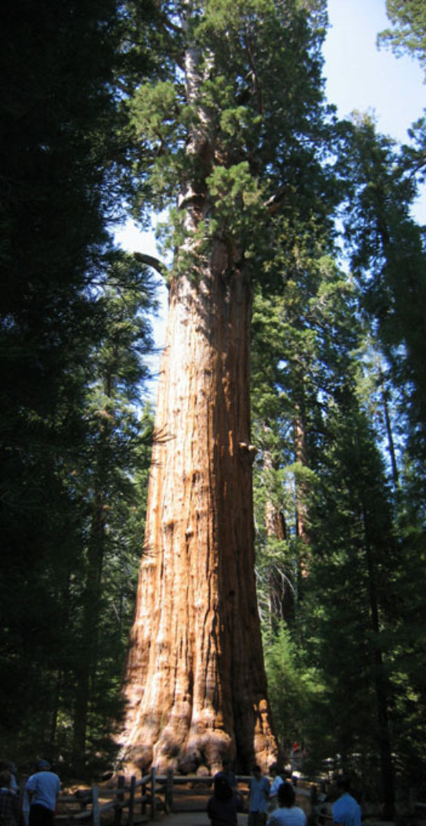Gymnosperms are types of plants. Giant redwood tree 'Sherman' in the Sequoia National Park, California, USA