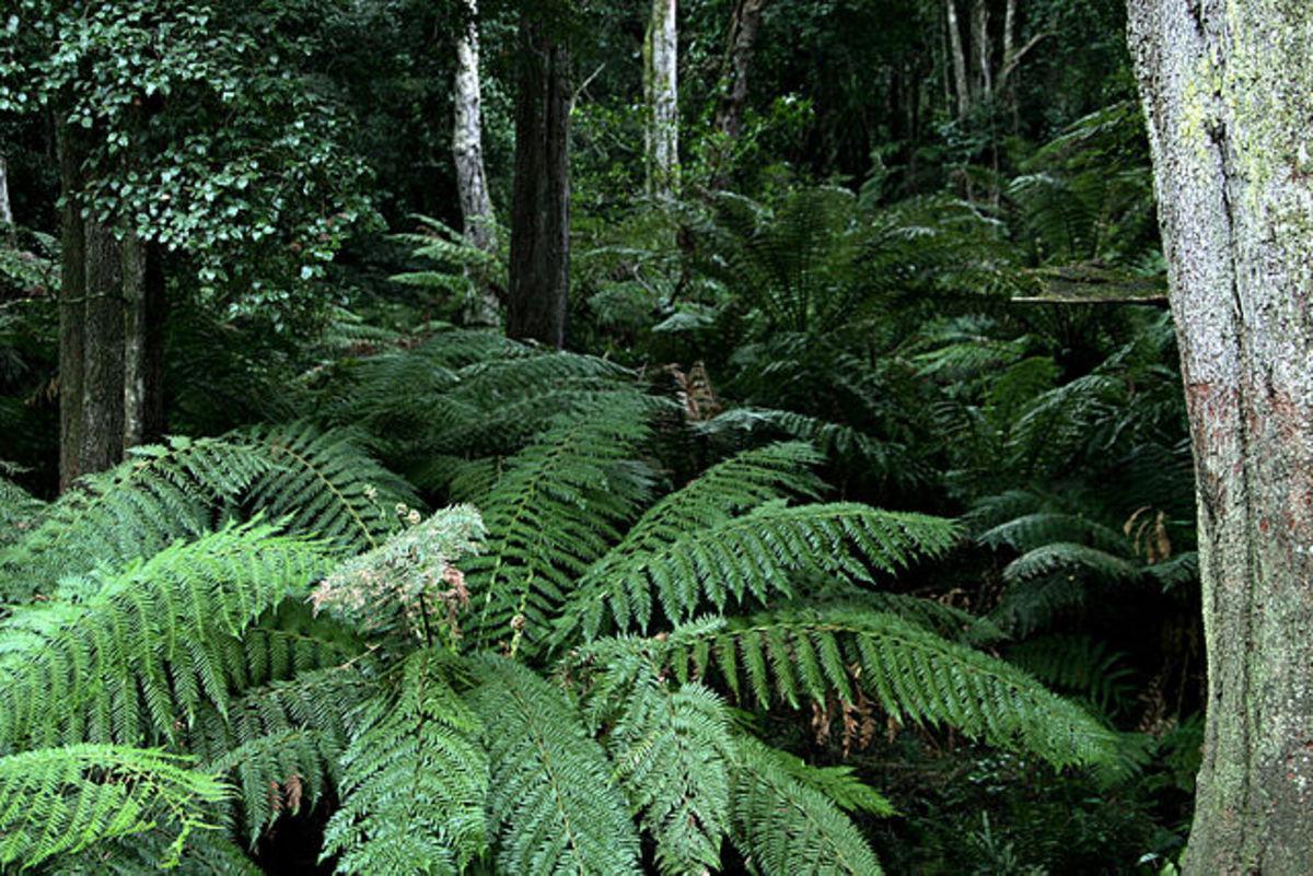 Ferns are types of plants. Ferns near Cann River, Victoria, Australia