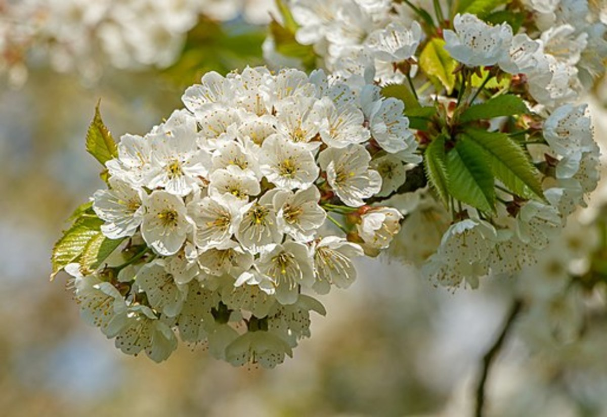 Angiosperms are types of plants. Flowers of a cherry tree (Prunus avium subsp. duracina) at Sasbach, Germany.