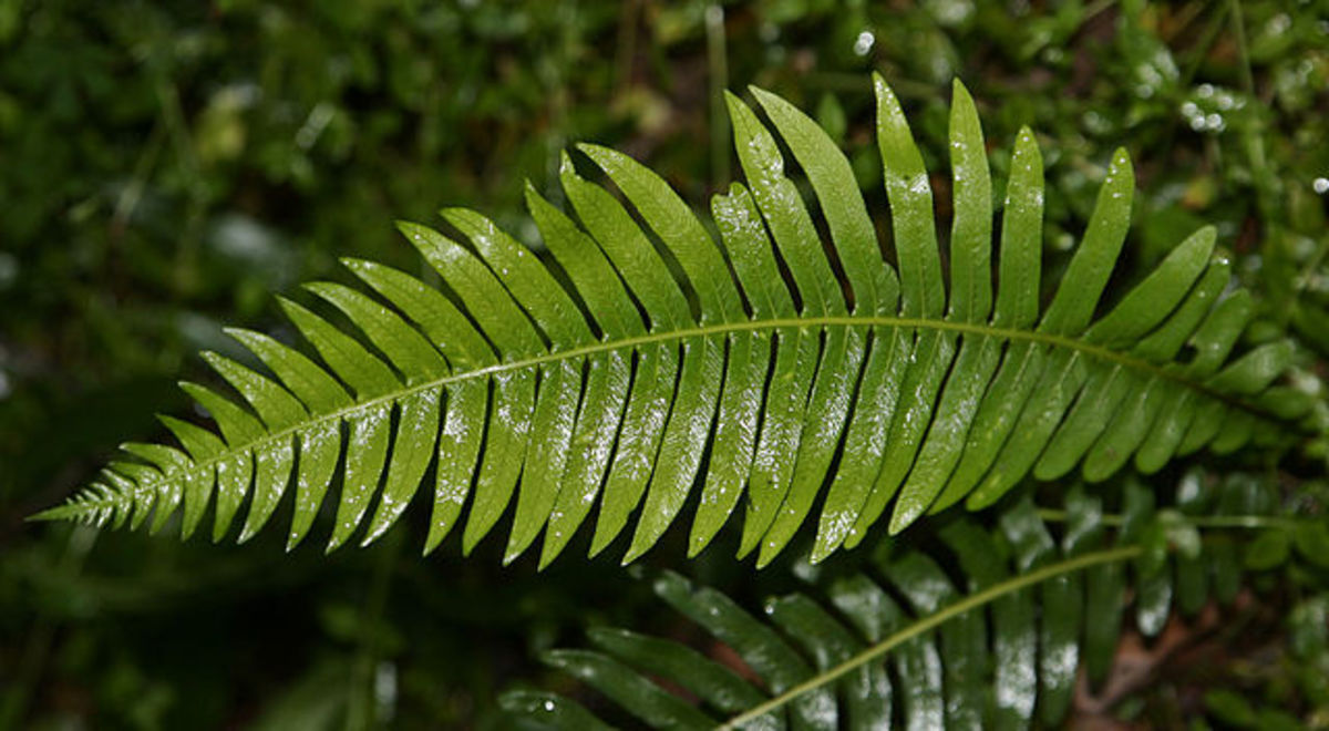 Ferns are types of plants. Ferns in Nunniong, Australia