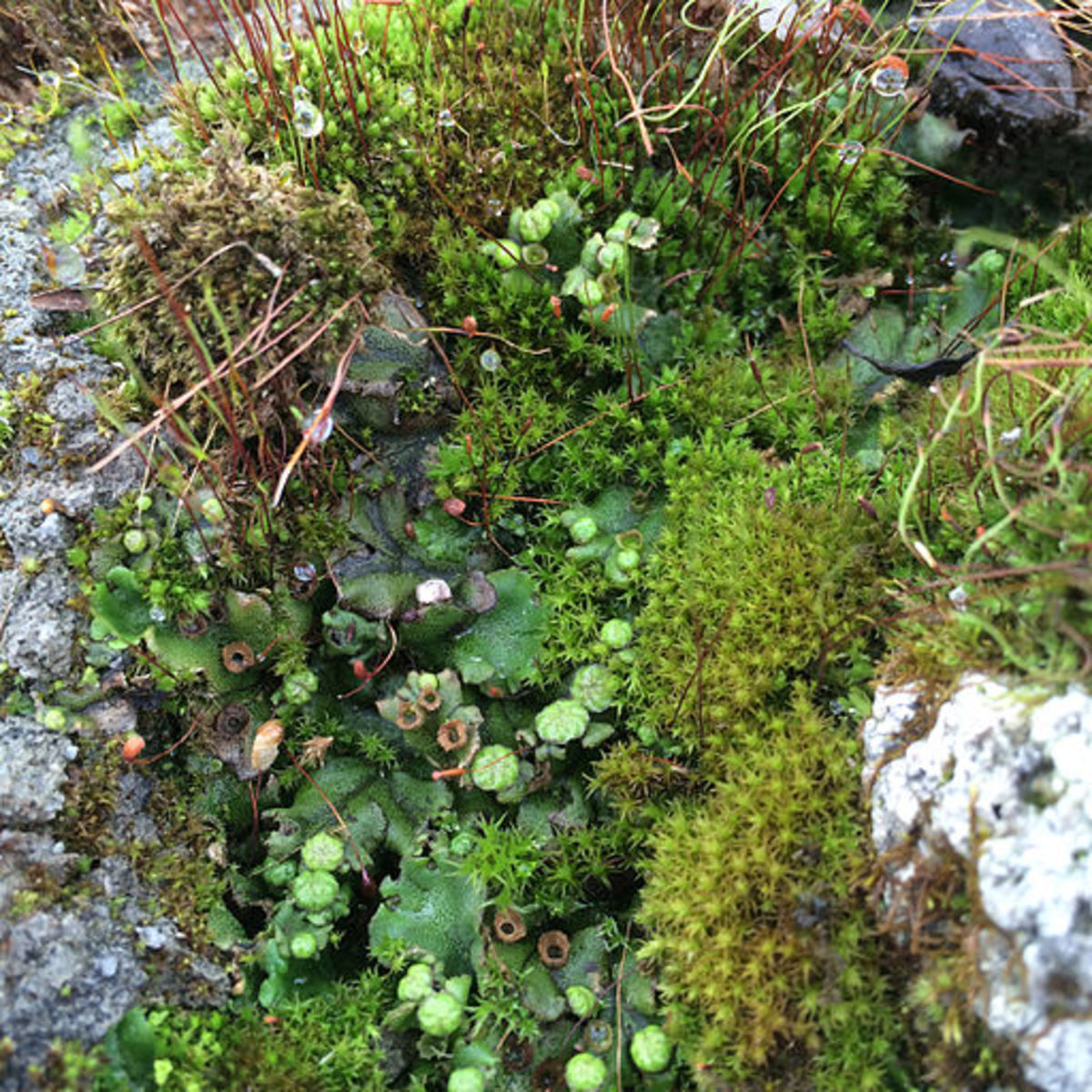 Bryophytes are types of plants. A growth of various bryophytes (here liverworts and leafy mosses).