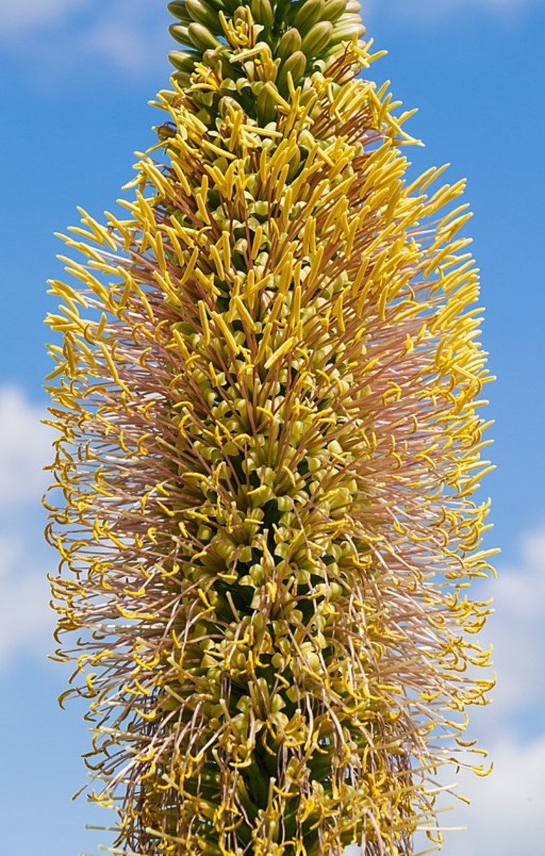 Angiosperms are types of plants. Agave filifera