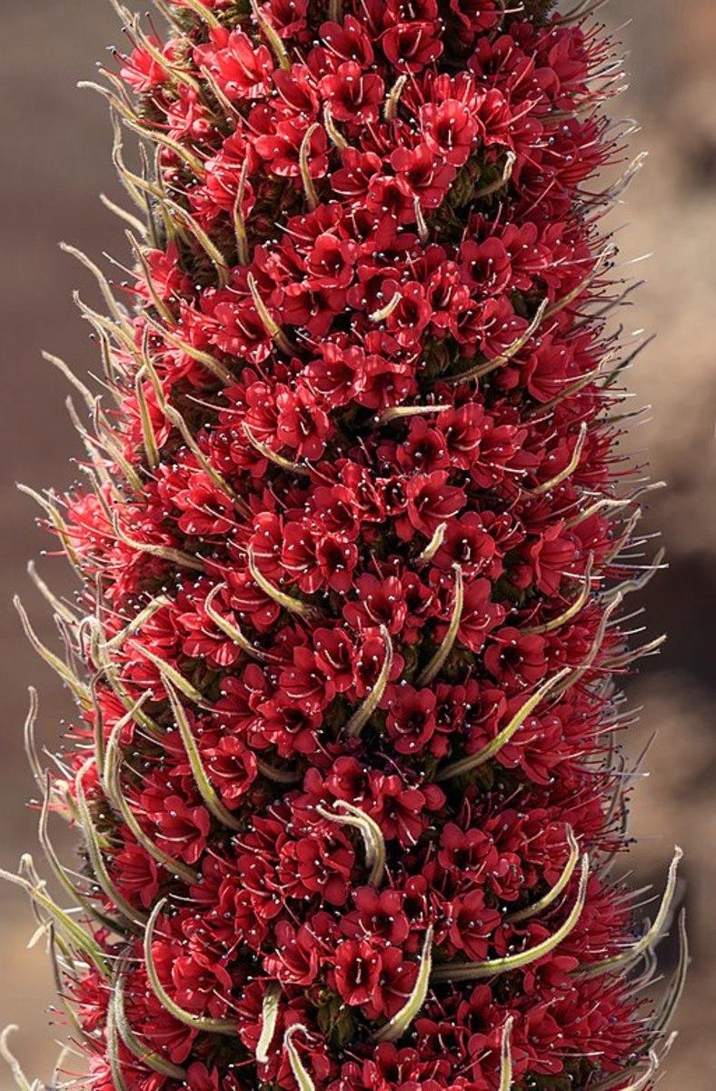 Angiosperms are types of plants. Echium wildpretii