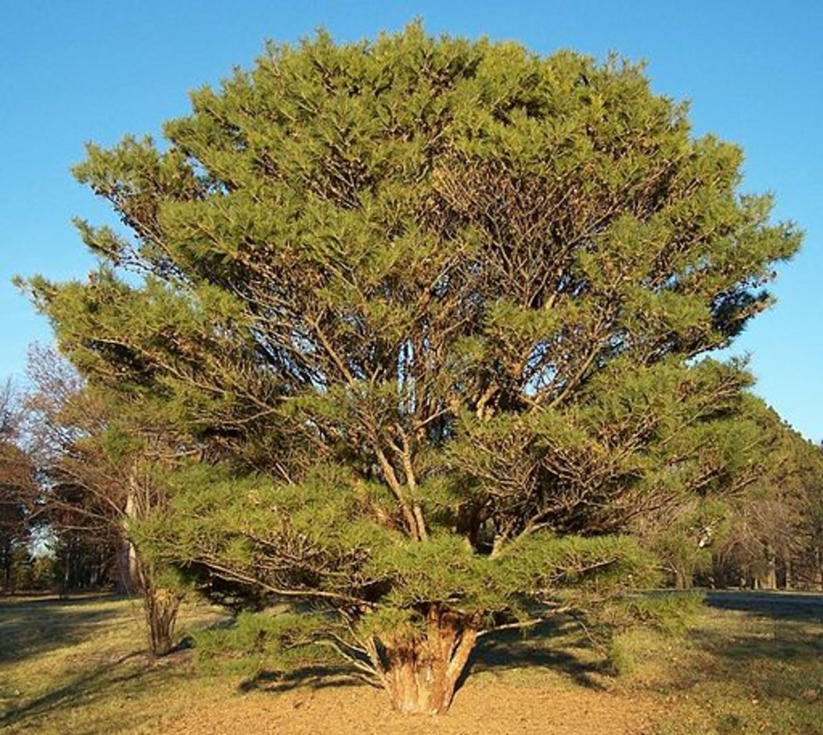 Gymnosperms are types of plants. Japanese Red Pine (Tanyosho Pine - Conifer)