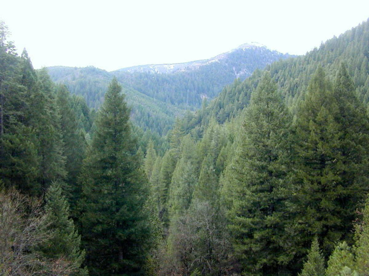 Gymnosperms are types of plants. Conifer forest, Sierra National Forest, near Downieville, California