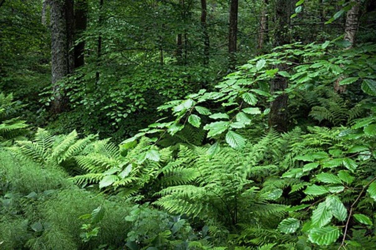 Ferns are types of plants. Beech (Fagus sylvatica), ostrich ferns (Matteuccia struthiopteris) and wood horsetail (Equisetum sylvaticum) in Gullmarsskogen nature reserve, Lysekil Municipality, Sweden.