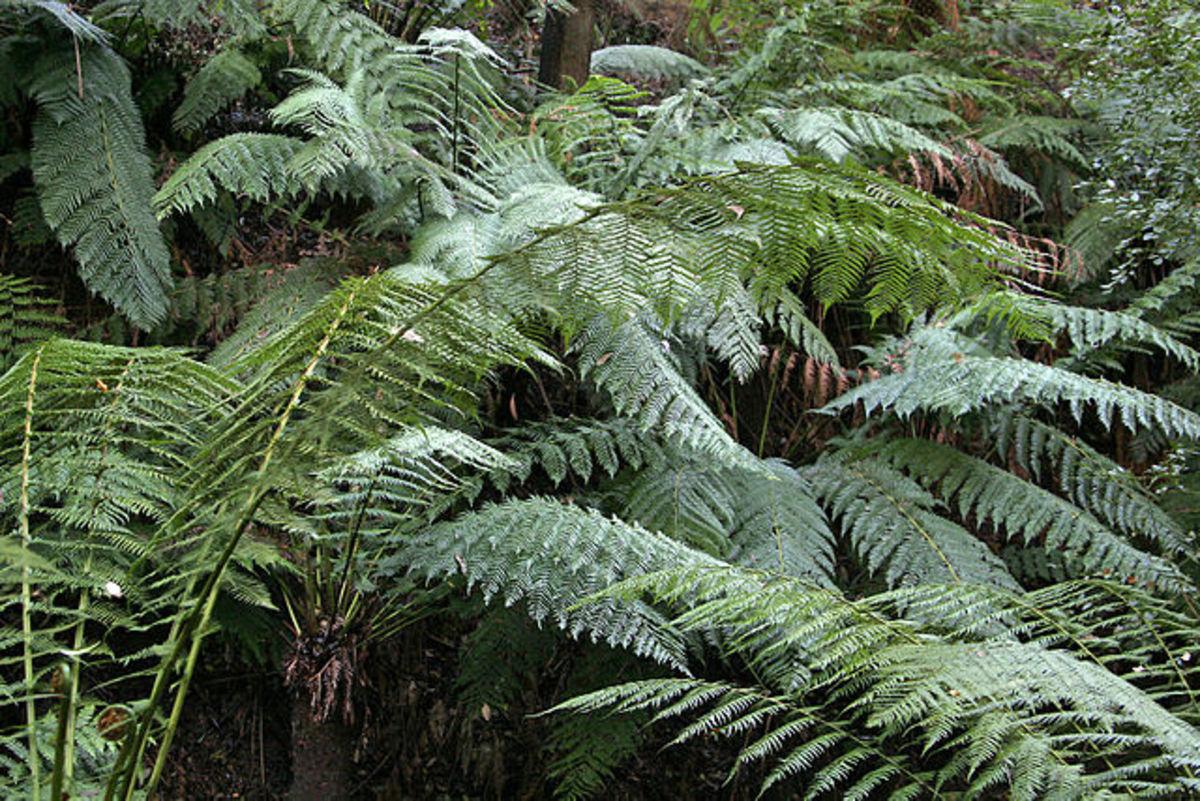 Ferns are types of plants. Ferns on rainforest tour- National Botanical Gardens