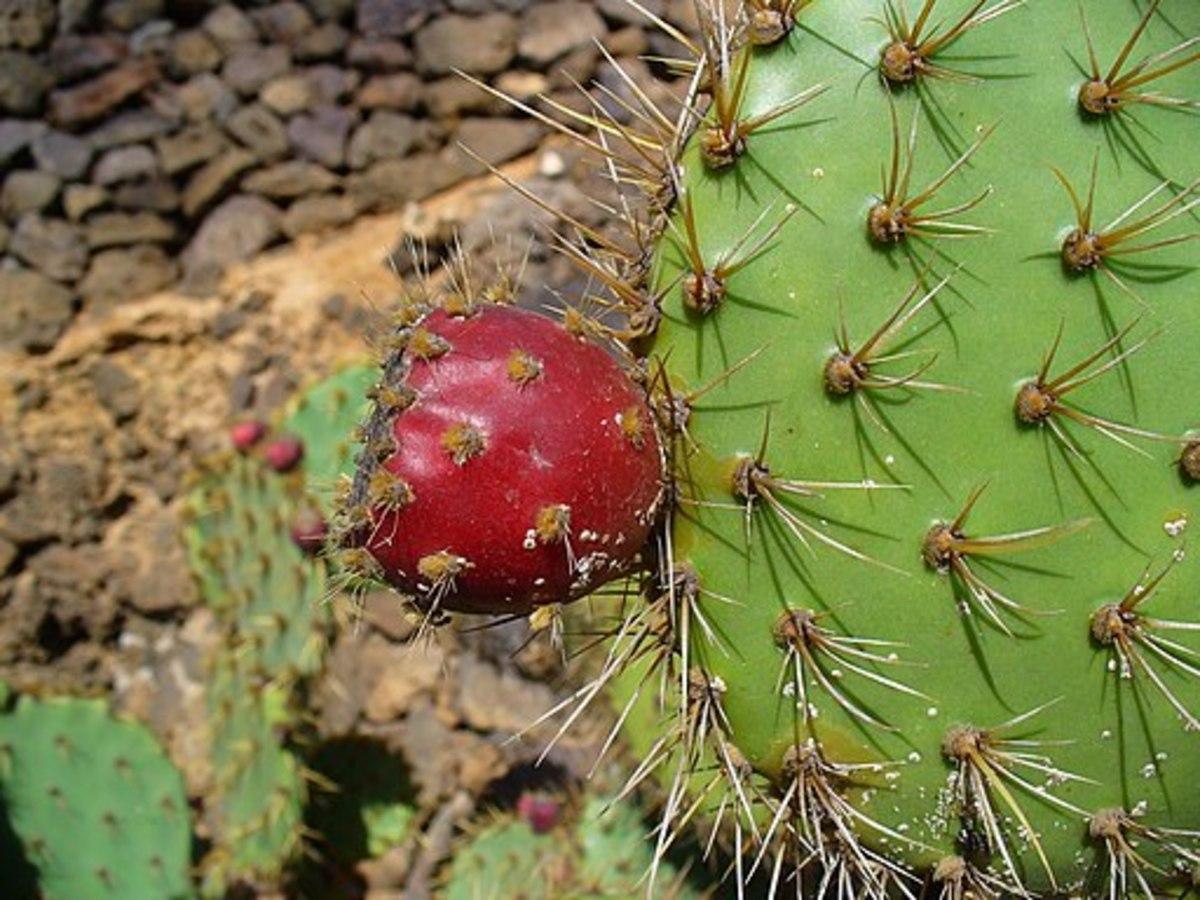 Angiosperms are types of plants. Fruit; Jardín de Cactus, Guatiza, Lanzarote, Canary Islands, Spain