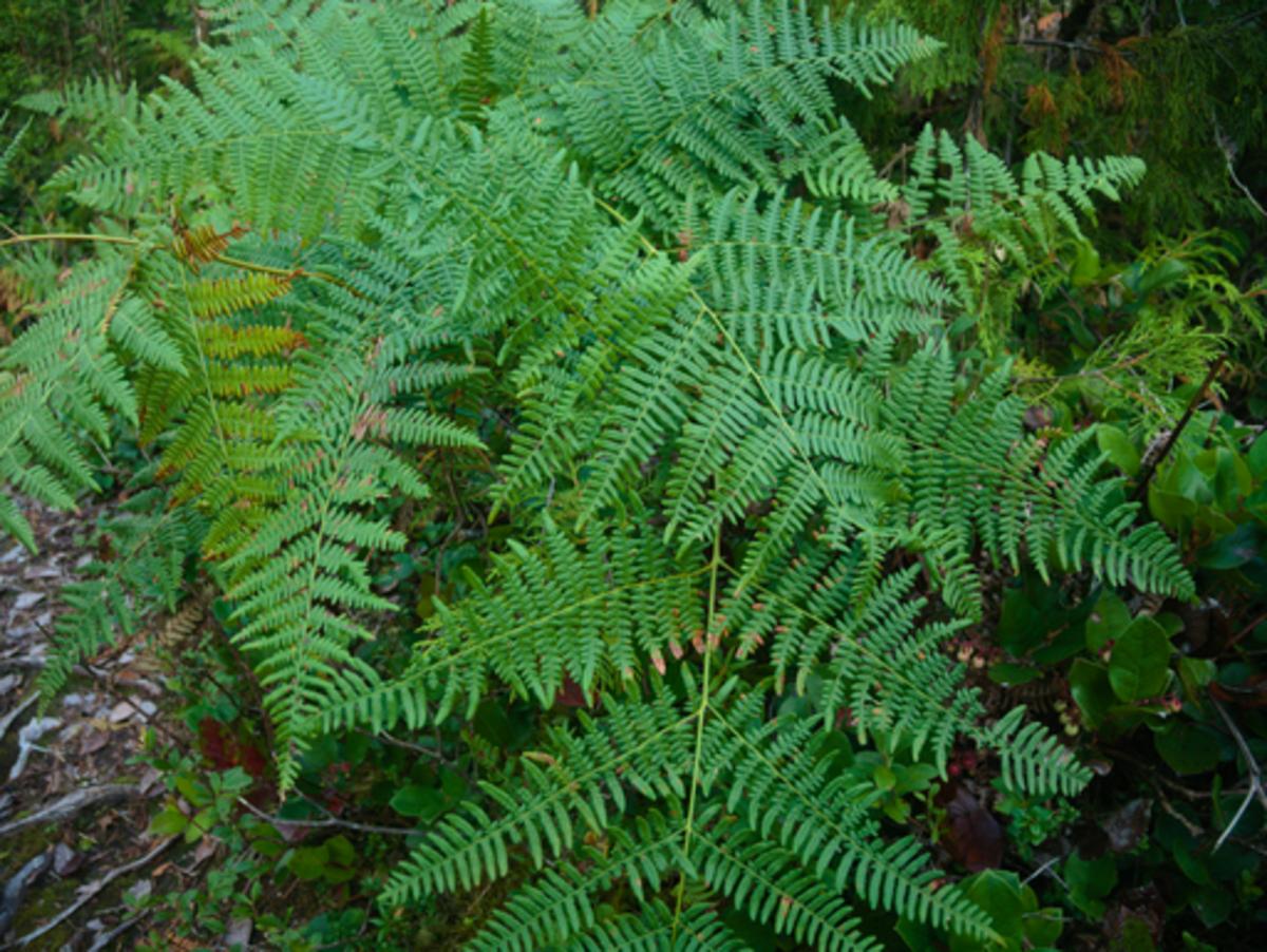 Ferns are types of plants. Bracken Ferns on Kaien Island, British Columbia, Canada
