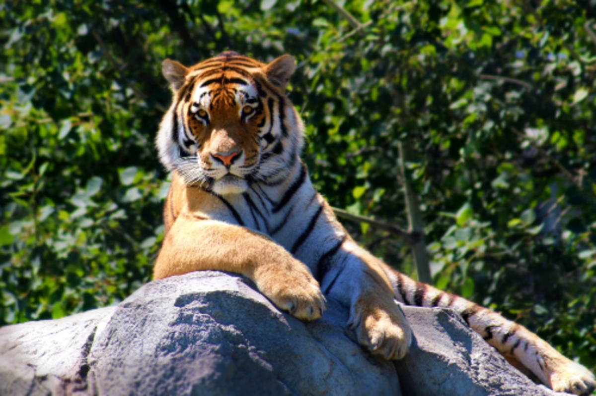 Alpha Male Tiger