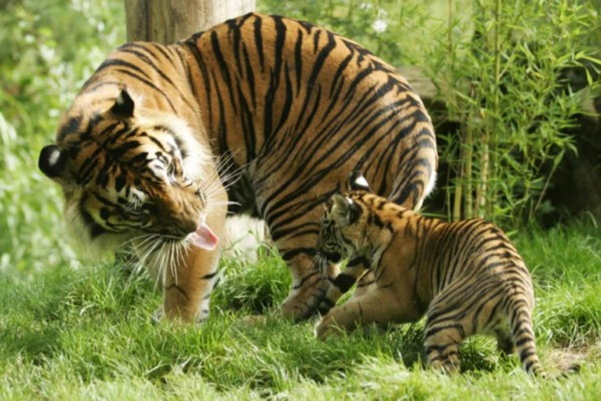 Mother tiger and her cub!