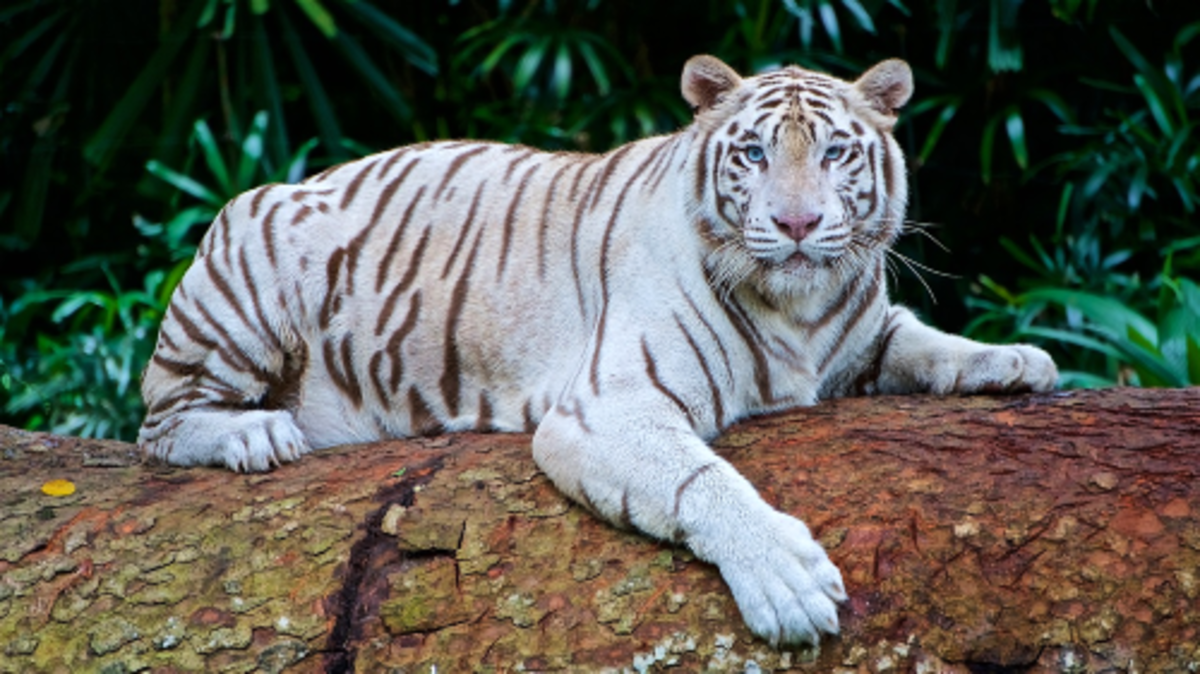 Beautiful White Bengal tiger