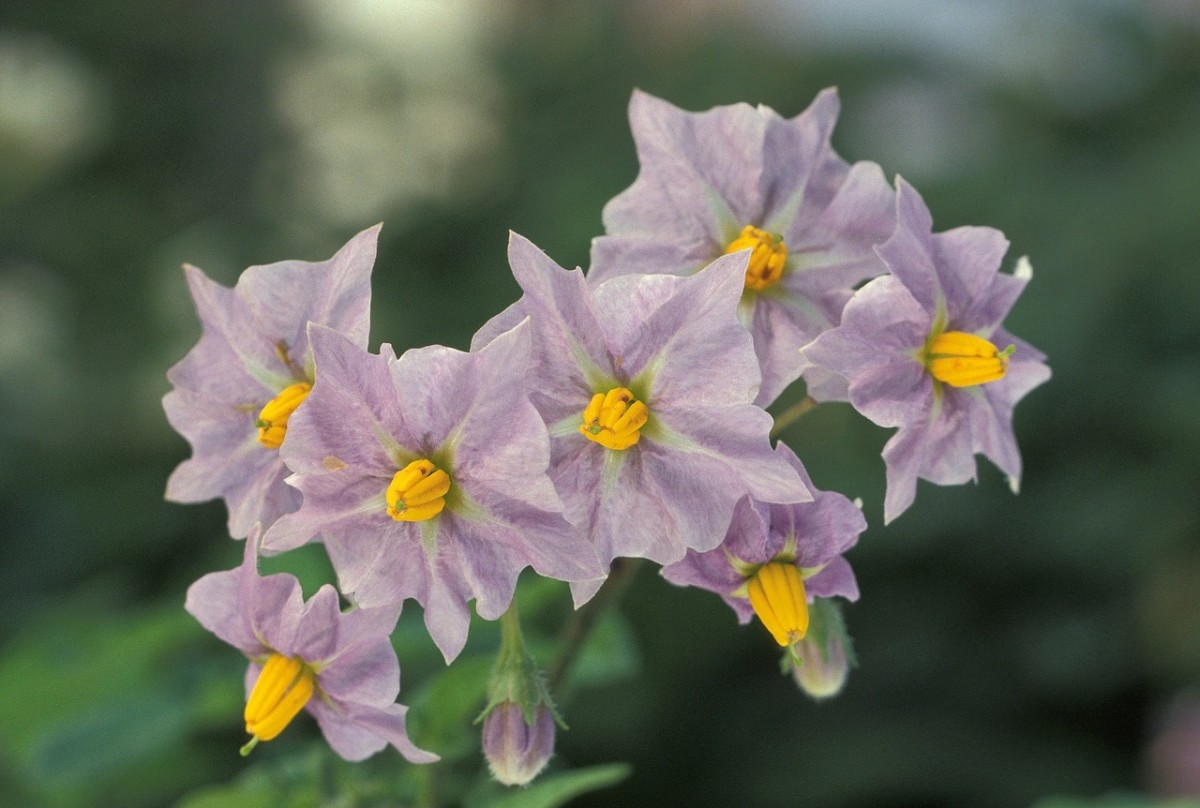 Potato flowers.