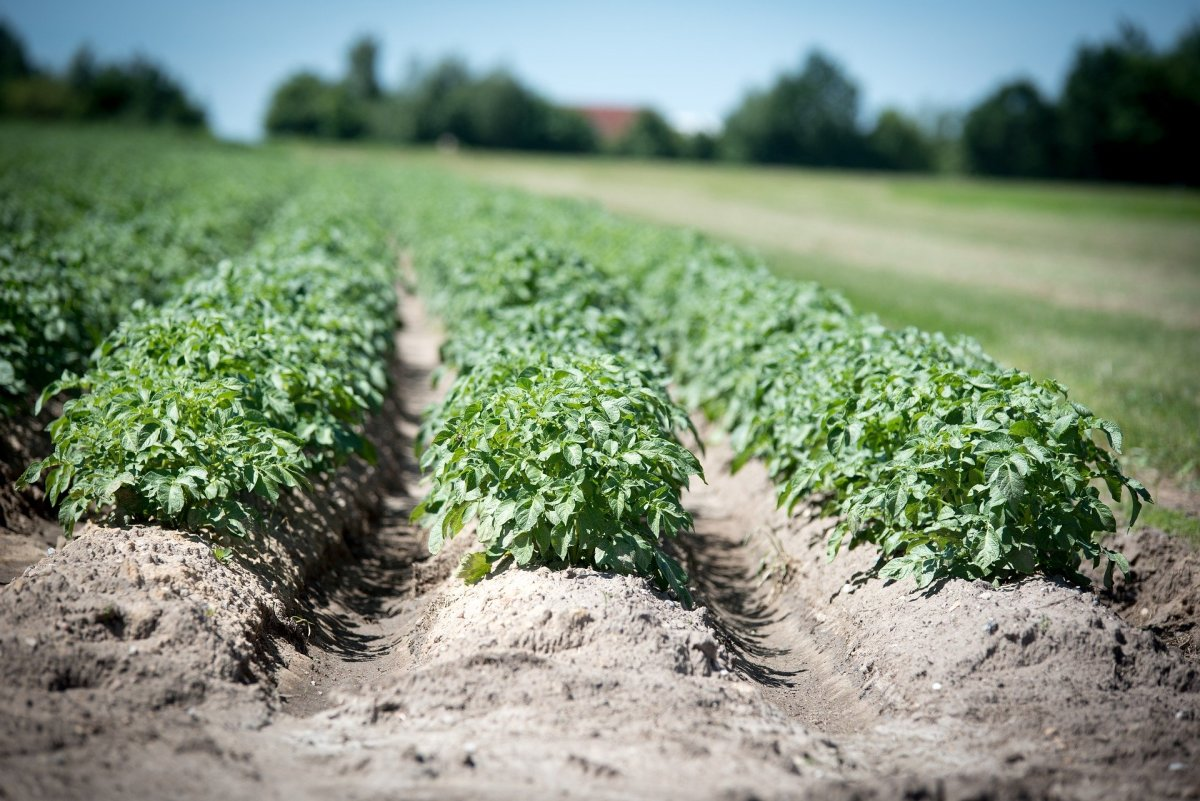 Healthy potato crop.