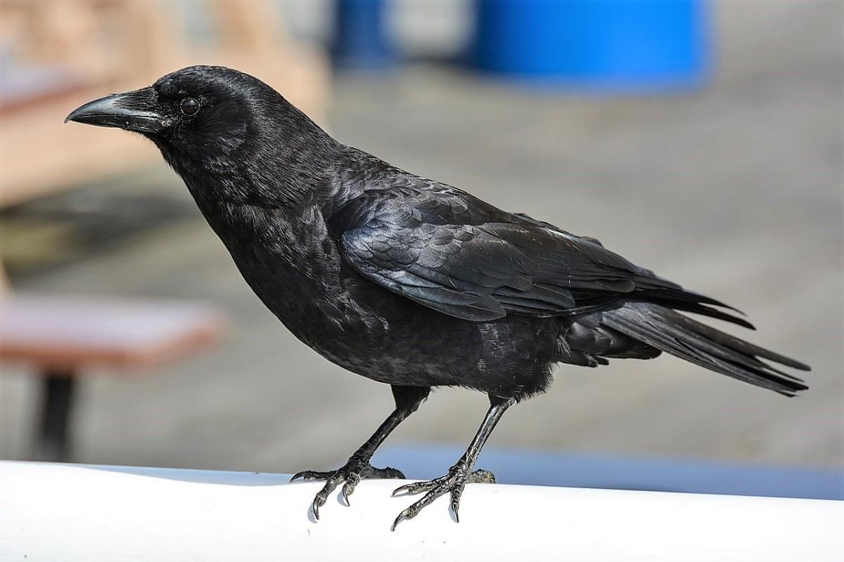 A northwestern crow (Corvus caurinus)