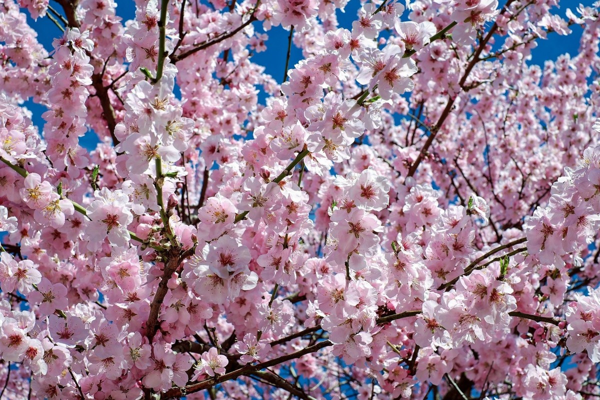 A Japanese cherry tree in bloom