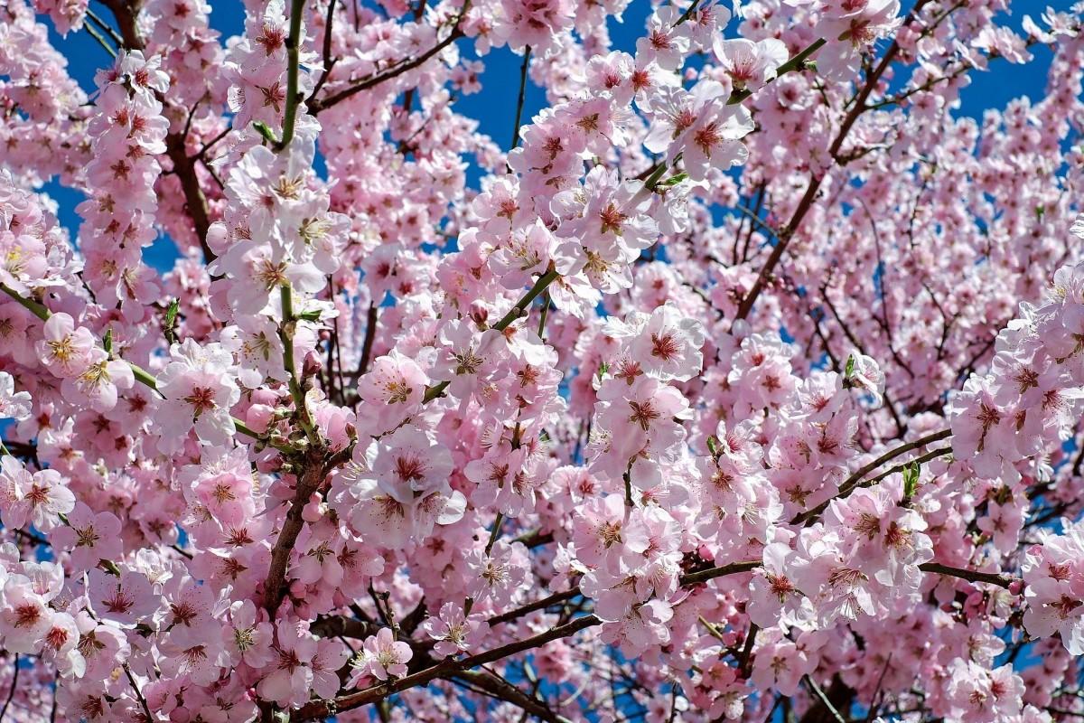 A Japanese cherry tree