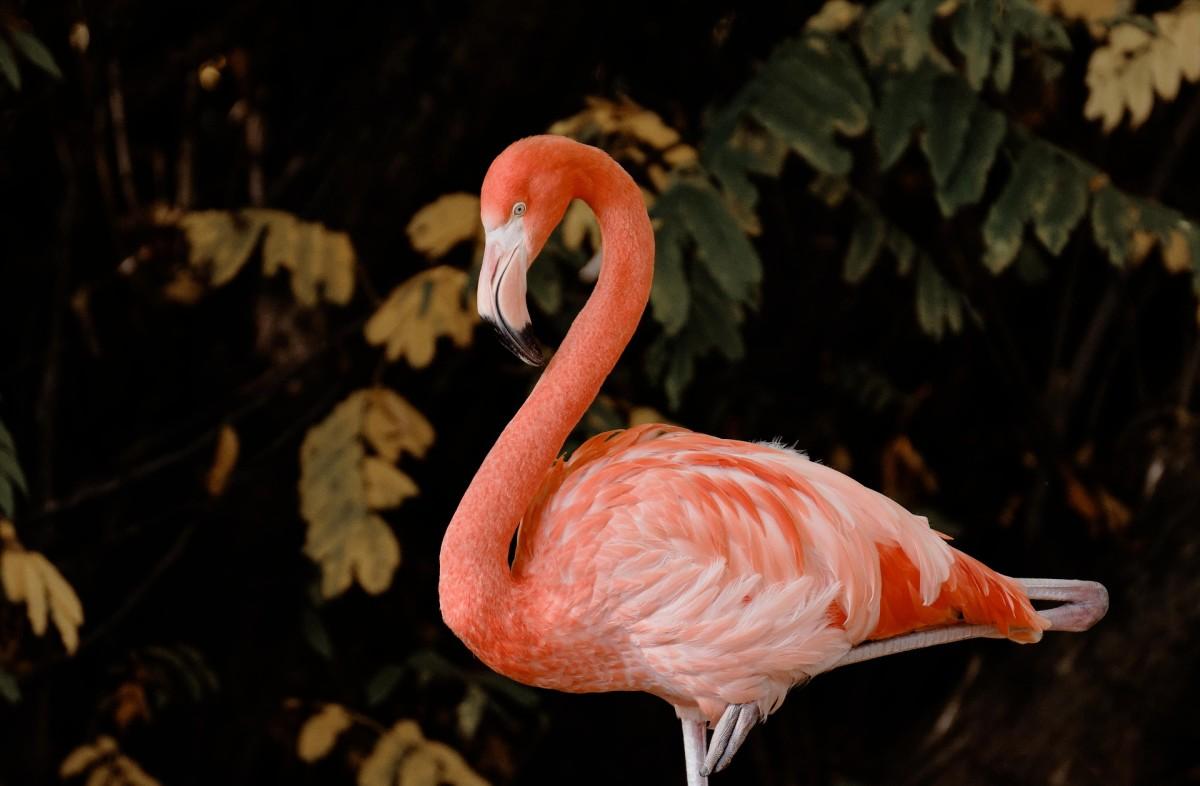 Flamingo|Raajhans|राजहंस