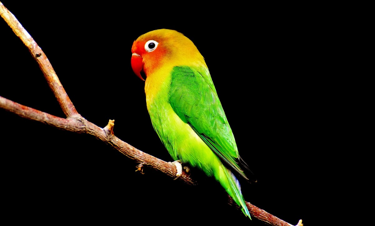 Parrot|Tota|तोता