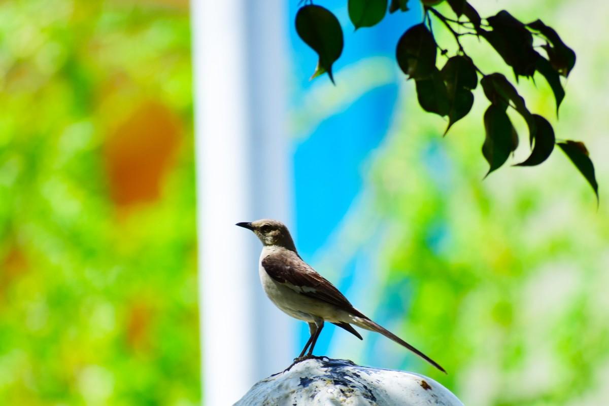 Nightingale|Koyal