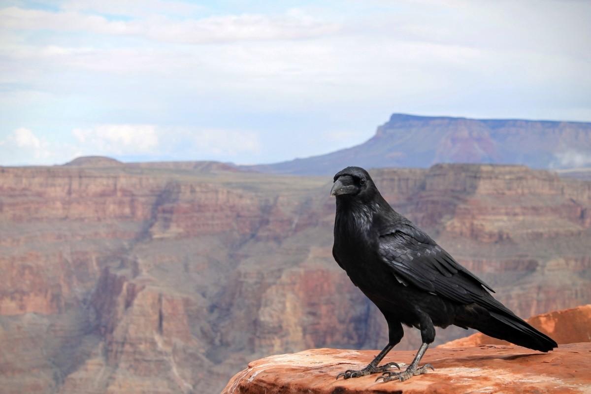 Crow|Kauva|कौवा