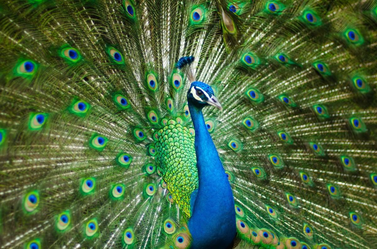 Peacock|Mor