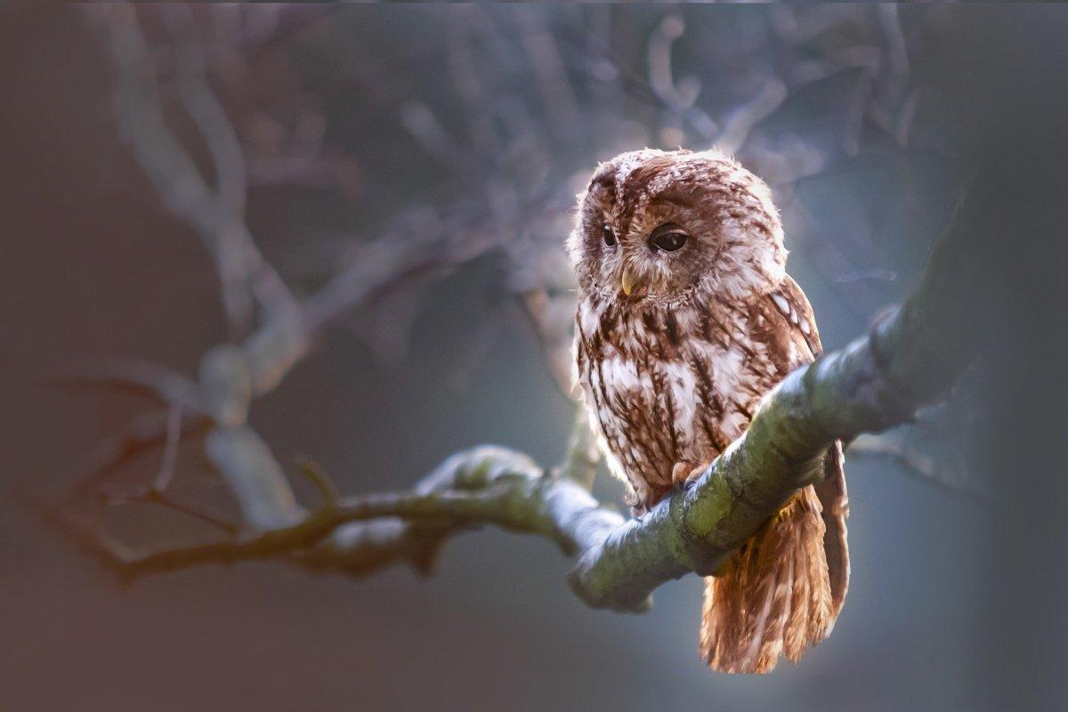 Owl|Ullu|उल्लू
