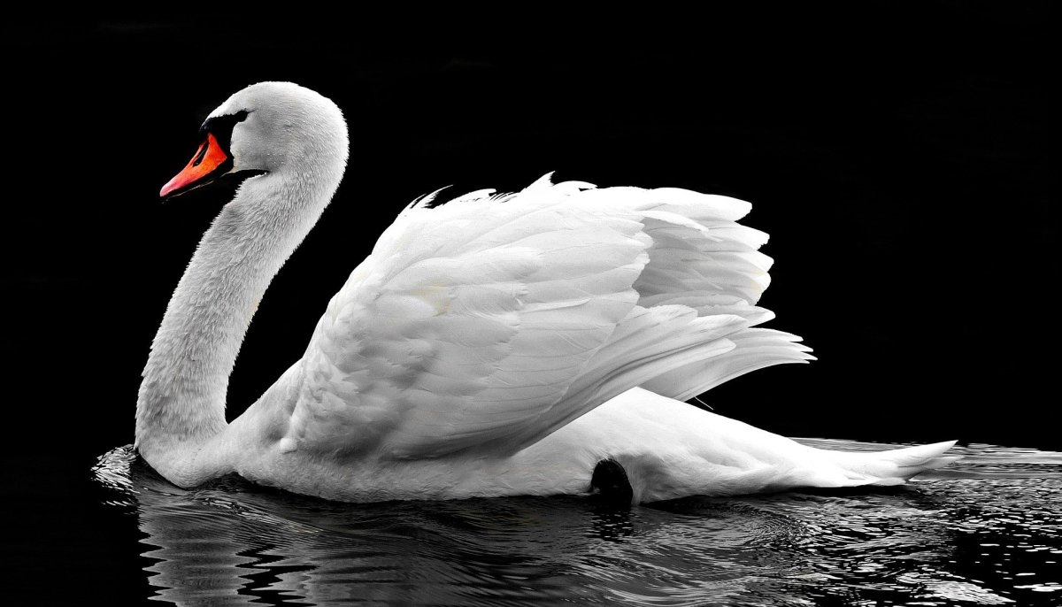 Swan|Hans|हंस