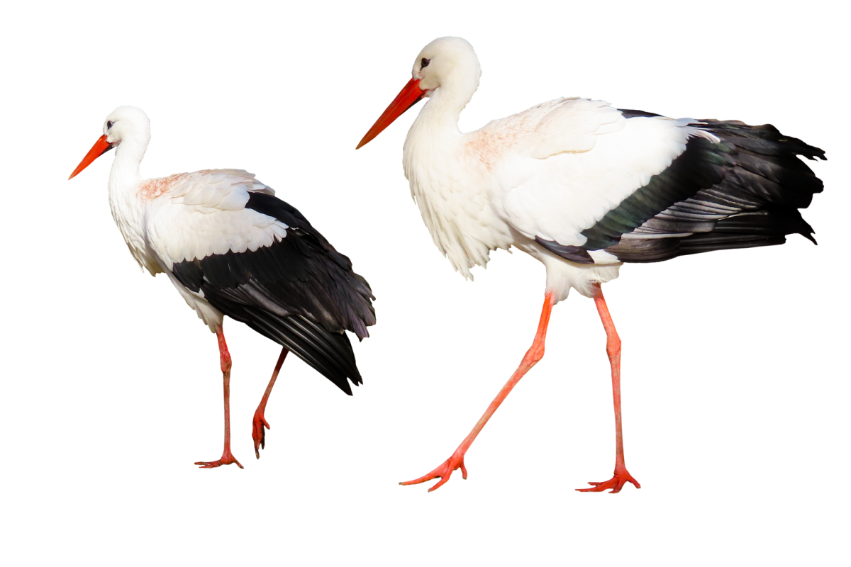 Stork|Bagula