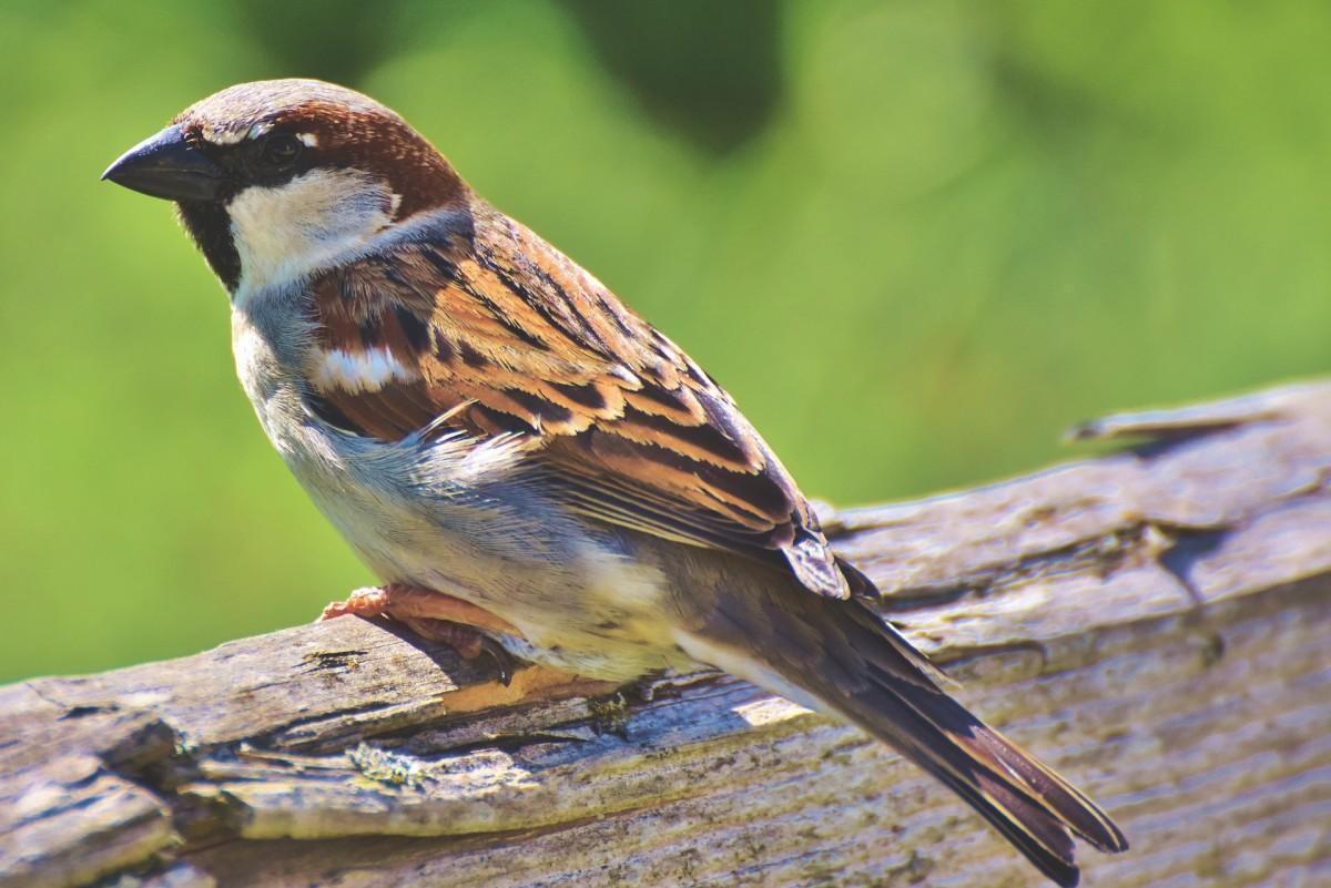 Sparrow|Chiriya|चिड़ीया