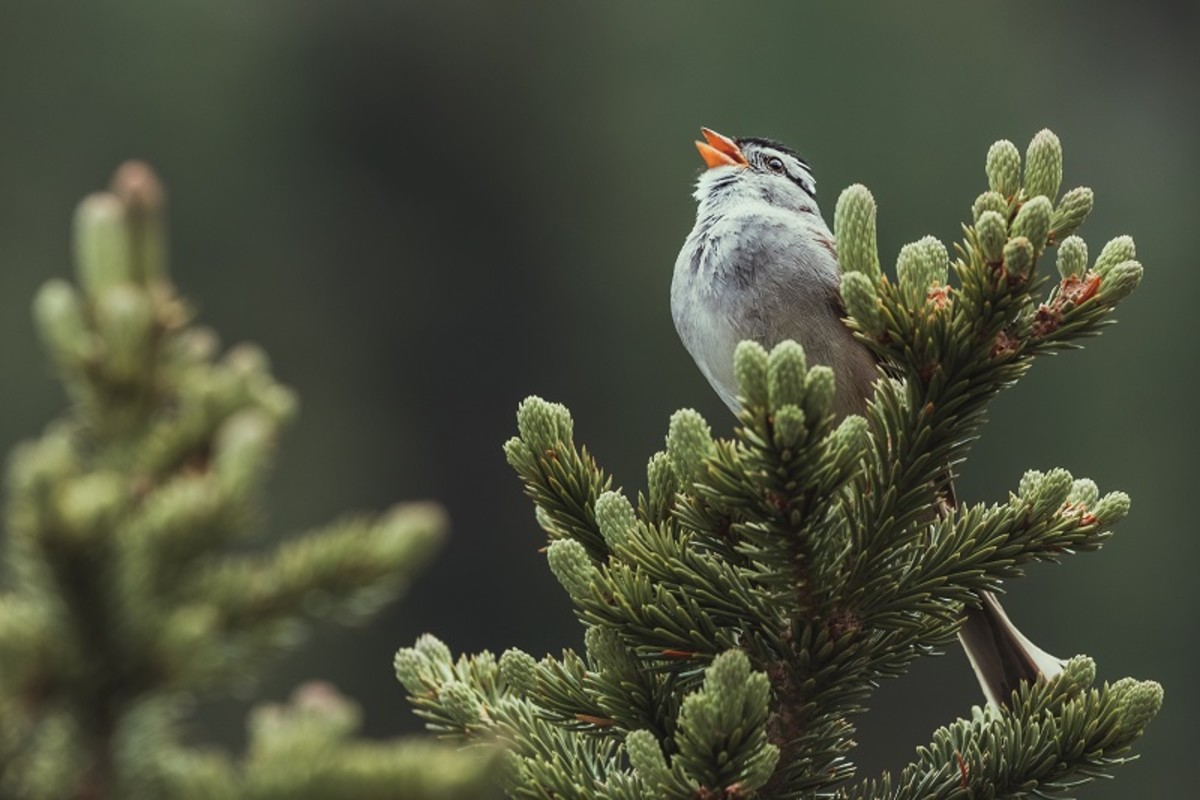 This white-crowned sparrow sings his song from a branch at the very top of the tree.