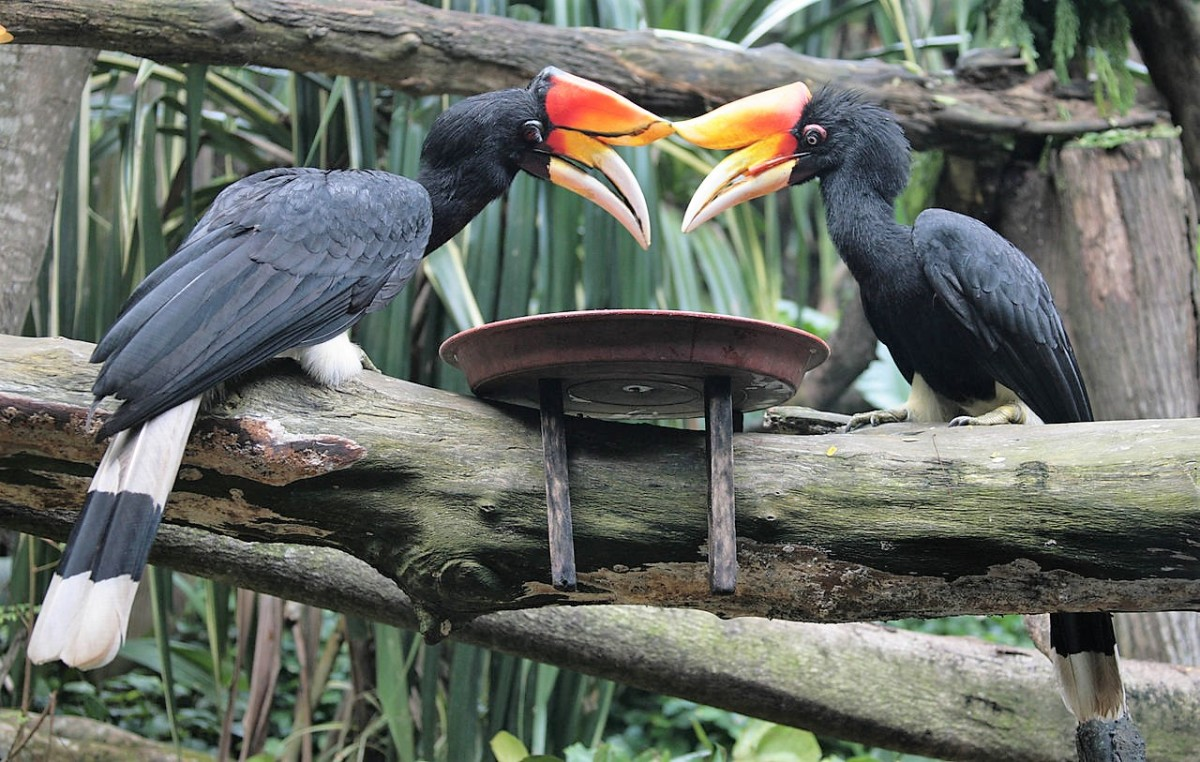 Rhinoceros hornbills feeding at the Singapore Zoo