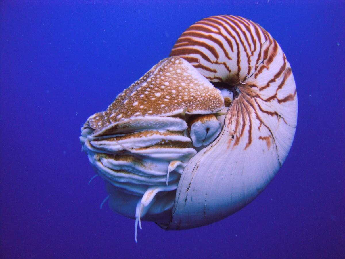 Nautilus, A Cephalopod From Subclass of Nautiloidea