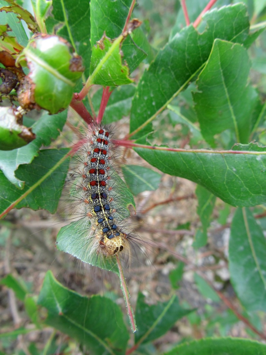 Mature Gypsy Moth Caterpillar