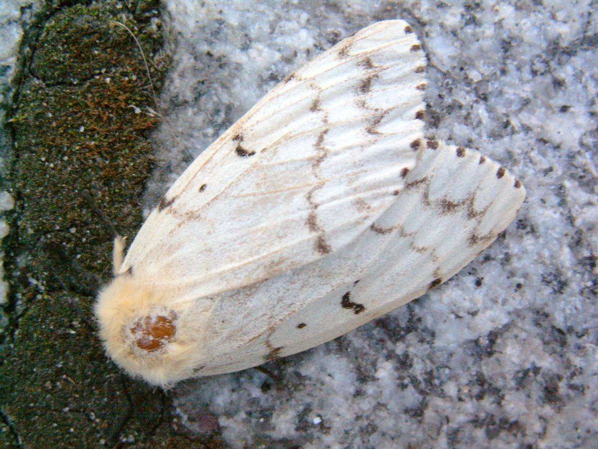 Female Gypsy Moth