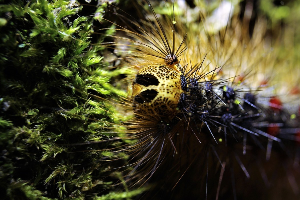 """Gypsy moth caterpillars have the appearance of a """"face"""" caused by markings on the head capsule."""