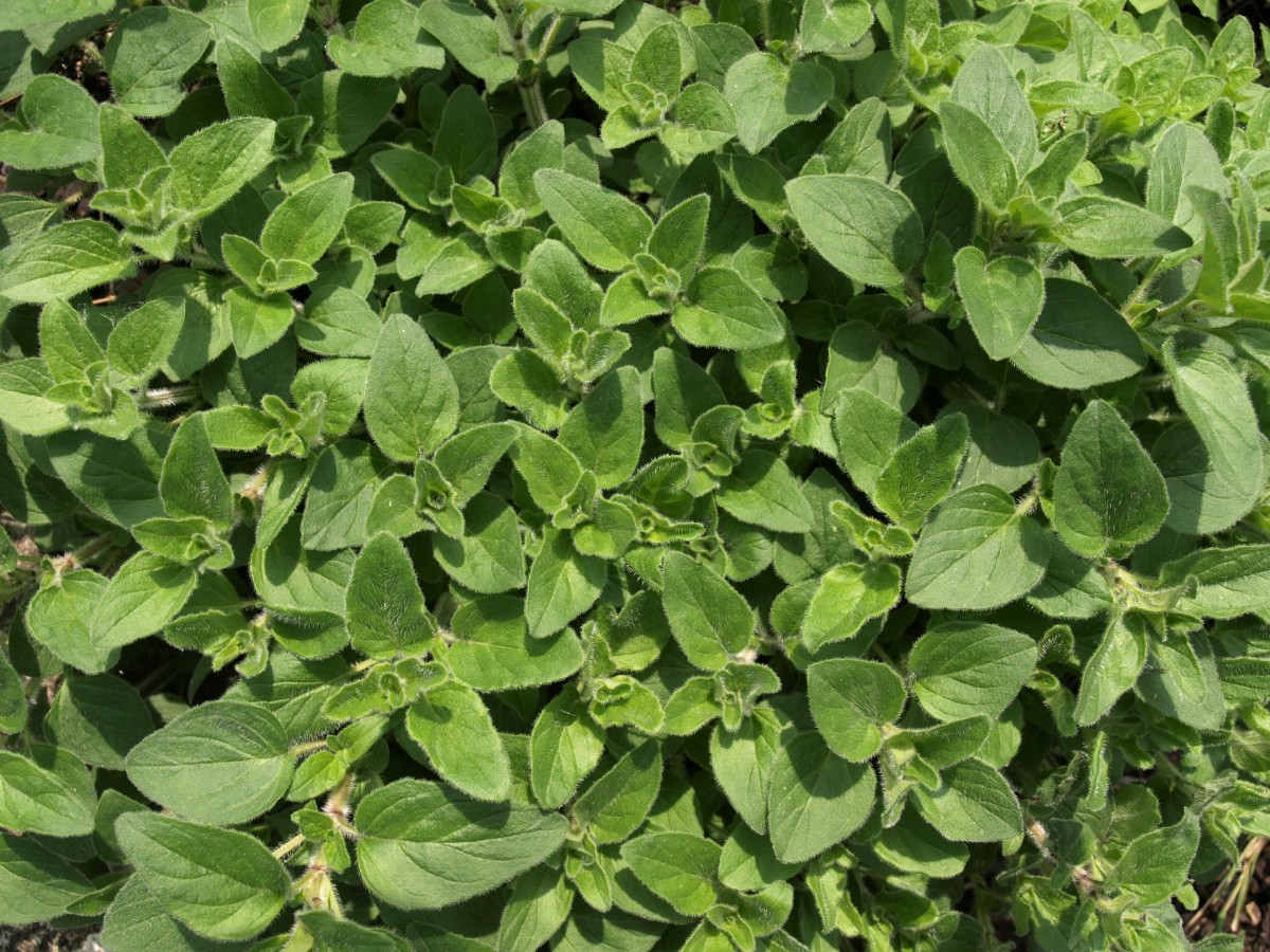Oregano is often considered to be an antibacterial herb.