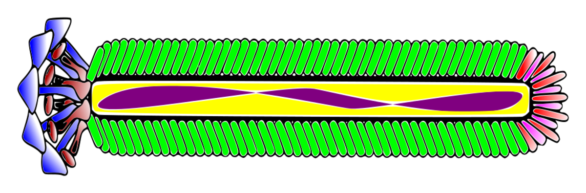 M13 is a filamentous phage, or an inovirus. The purple colour in this illustration represents single-stranded DNA. The other colours (except for the yellow) represent different kinds of proteins.