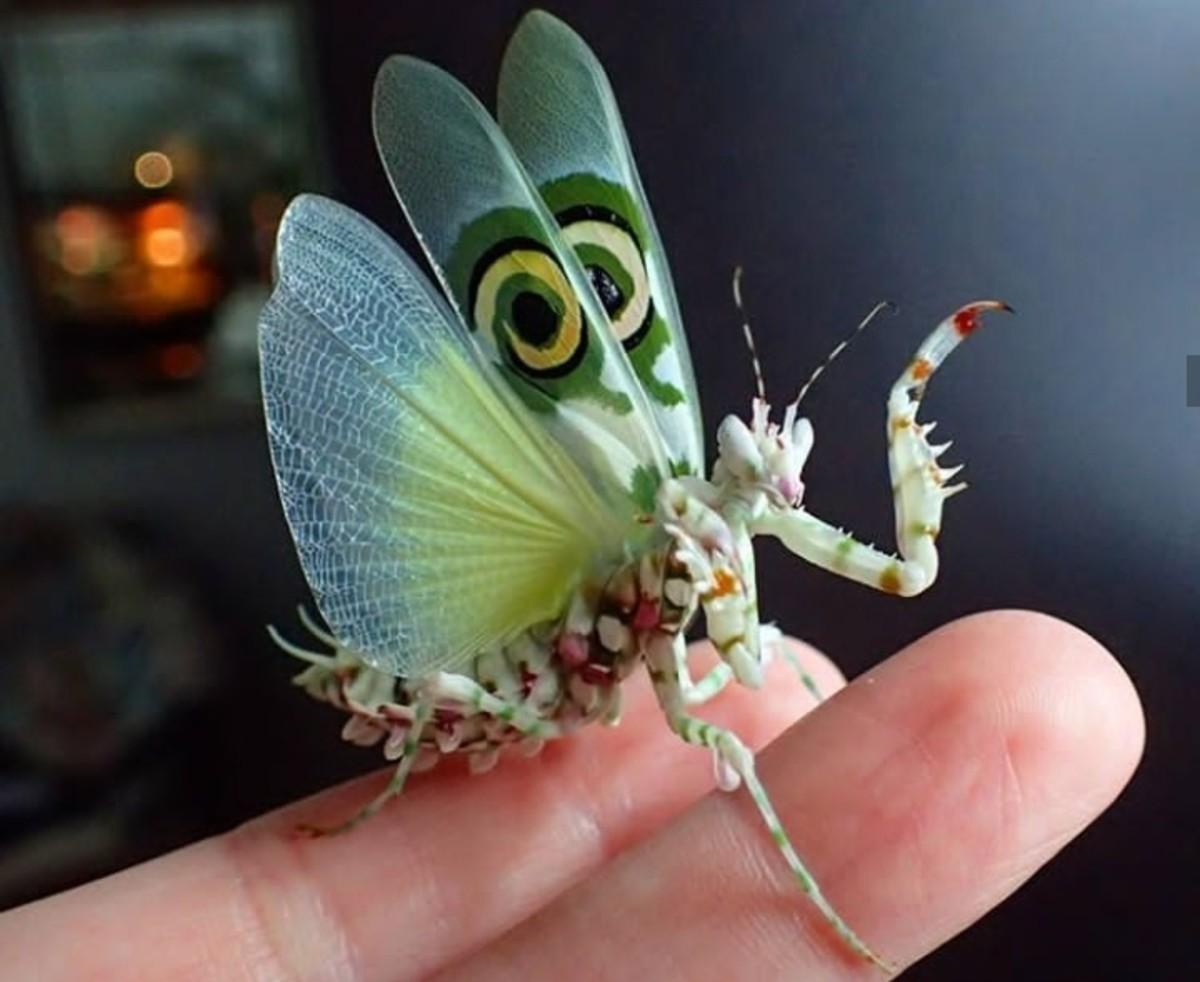 Adult Spiny Flower Mantis