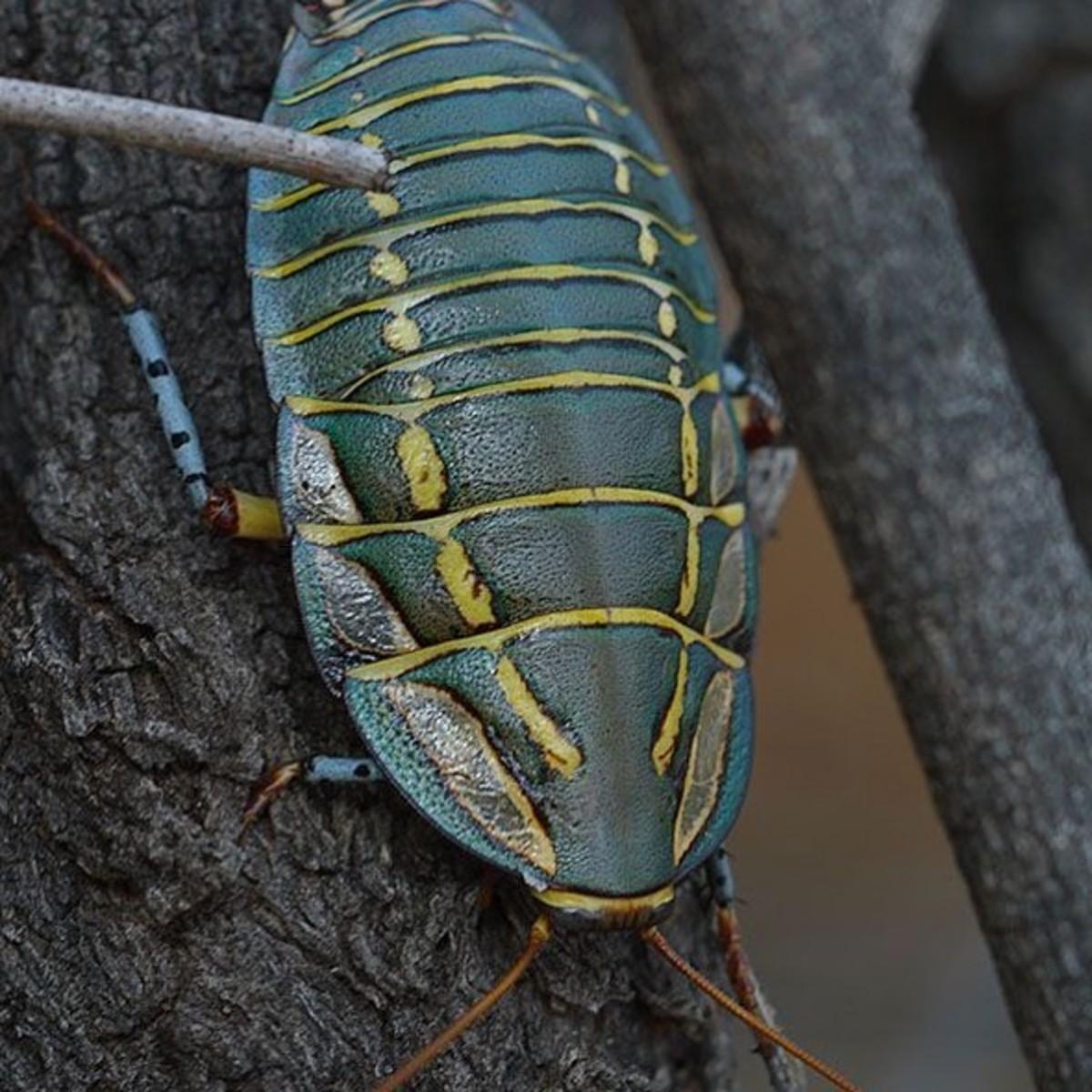 Female Painted Trilobite Cockroach