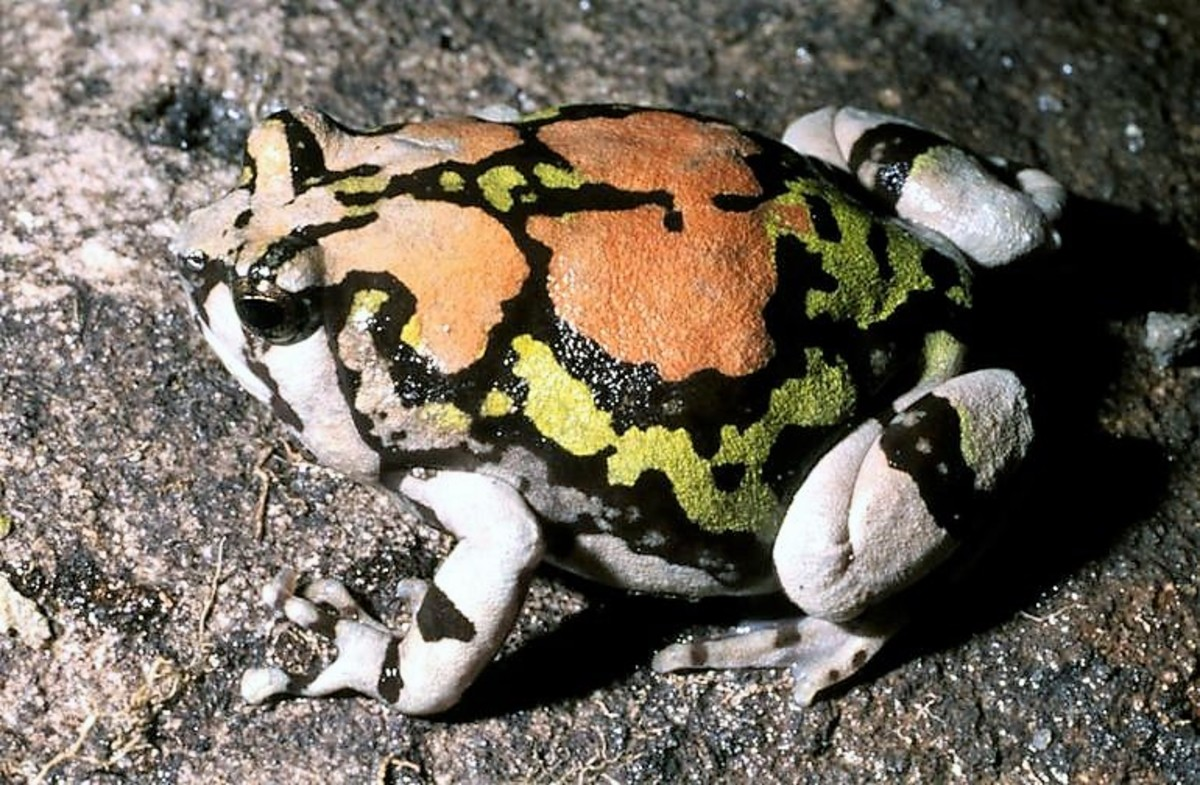 A Malagasy rainbow frog
